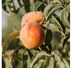 Abricot - Fraise Mara des Bois